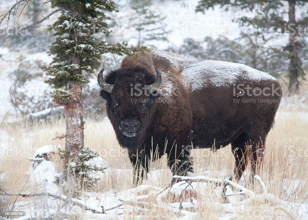 American Bison royalty-free stock photo