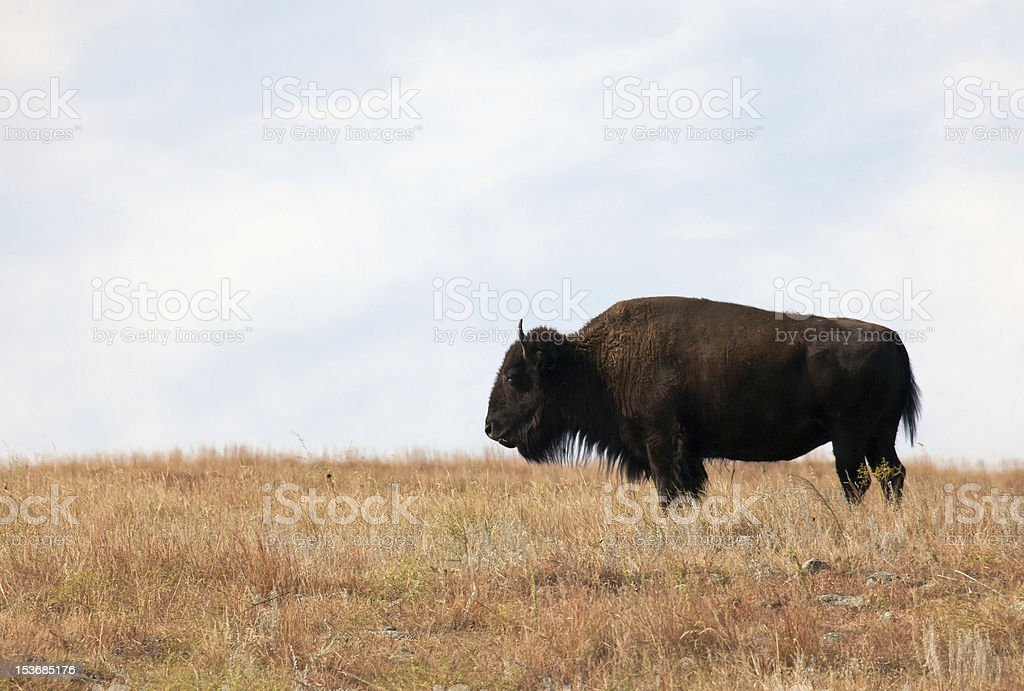 American Bison profile royalty-free stock photo