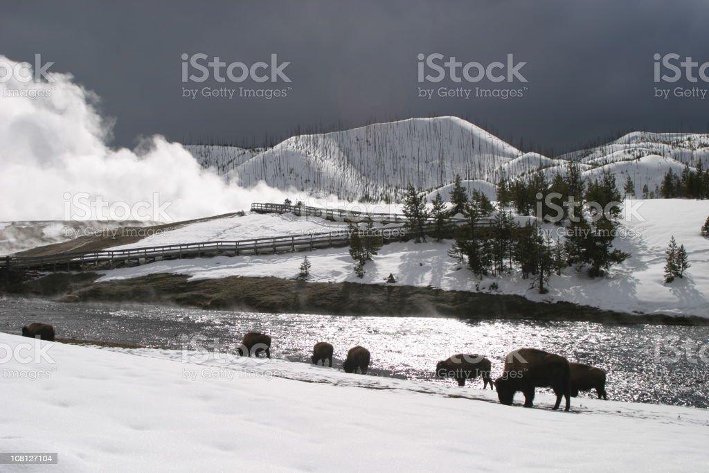 American bison roaming in snow near Yellowstone geyser stock photo