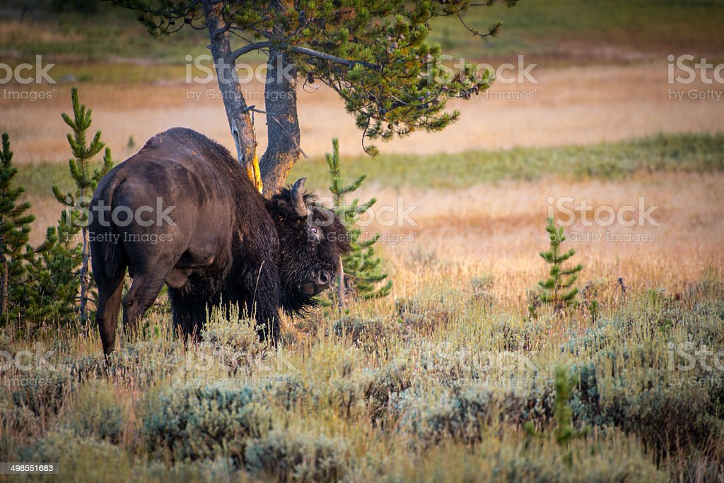 American Bison Scratching stock photo