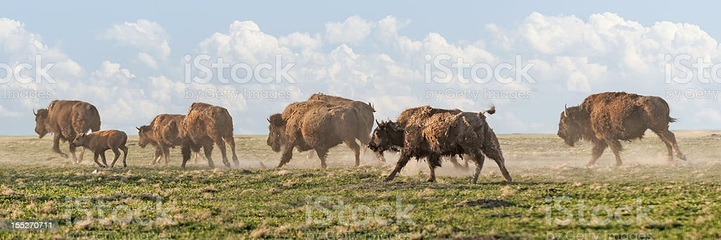 American Bison Stampede stock photo