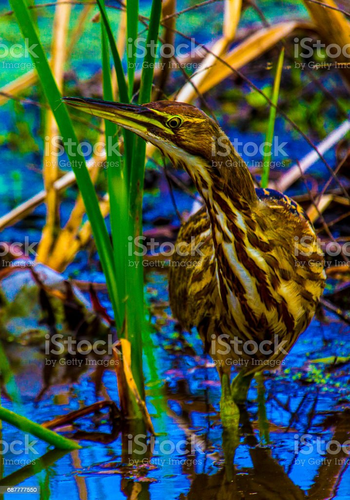 American Bittern in swamp stock photo