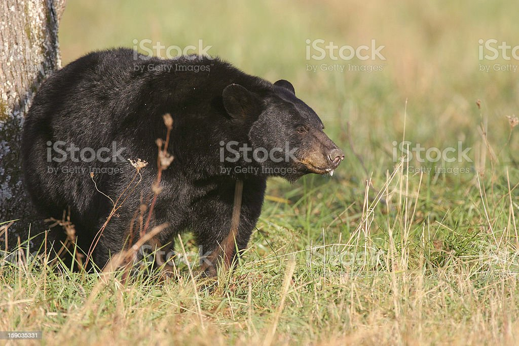 American black bear in grass field royalty-free stock photo