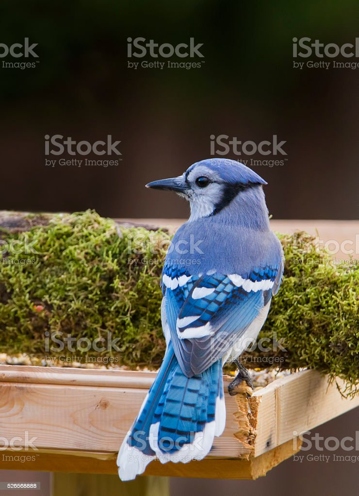 American blue jay stock photo