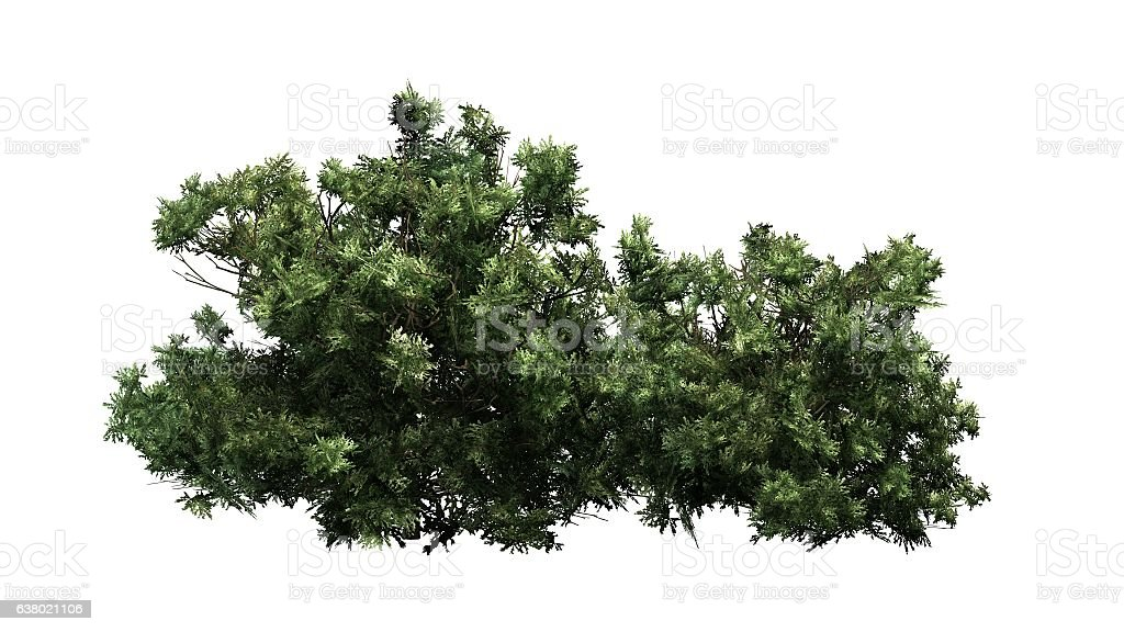american boxwood - isolated on white background stock photo