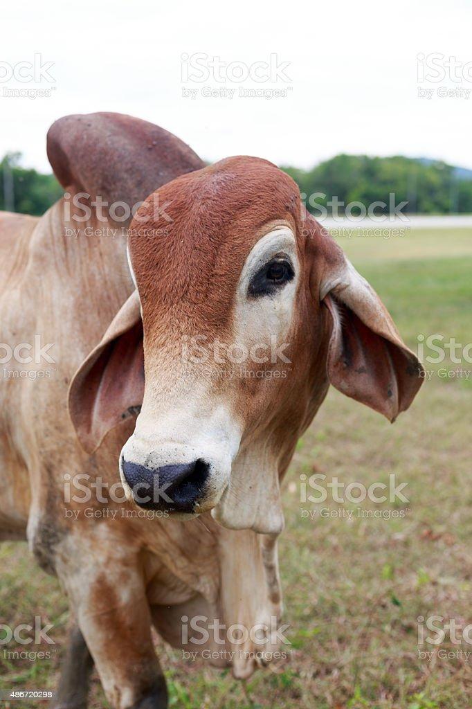 American Brahman Cow on the farm stock photo