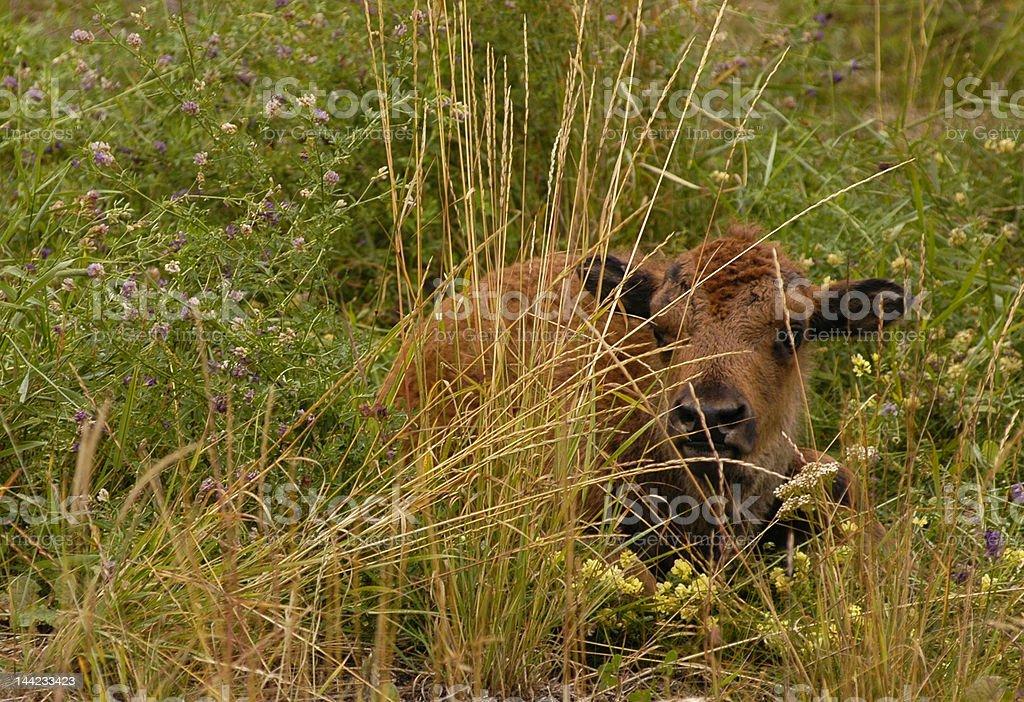 american buffalo calf royalty-free stock photo