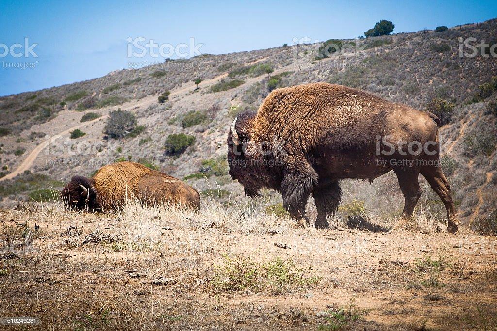American Buffalo on Catalina Island, California royalty-free stock photo