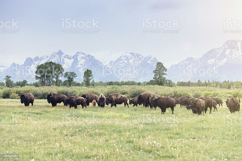 American Buffalo royalty-free stock photo