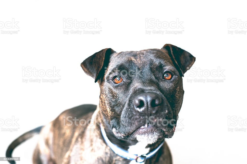 American Bull Dog on white isolation stock photo