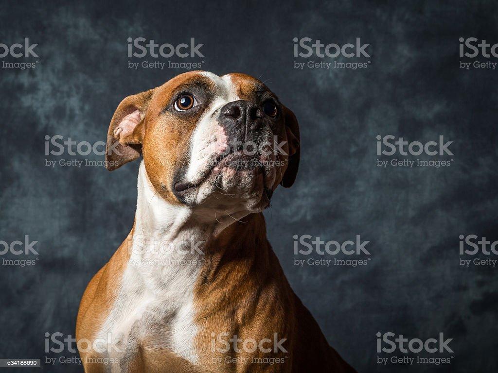 American Bull Dog stock photo