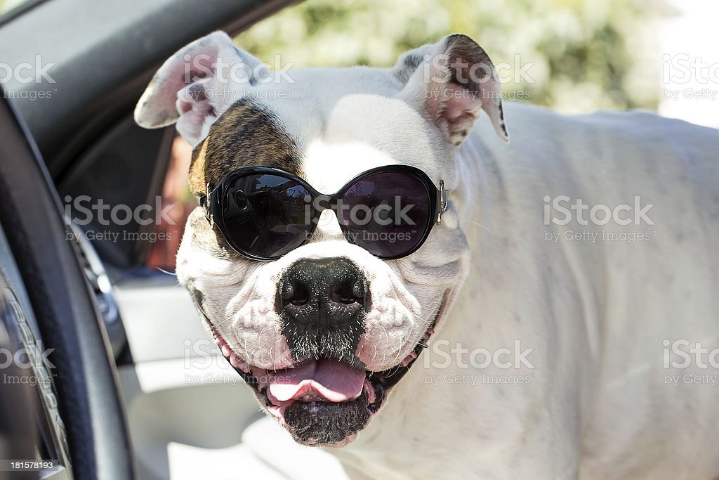 american bulldog in sunglasses royalty-free stock photo