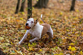 American Bulldog is Running on autumn Ground