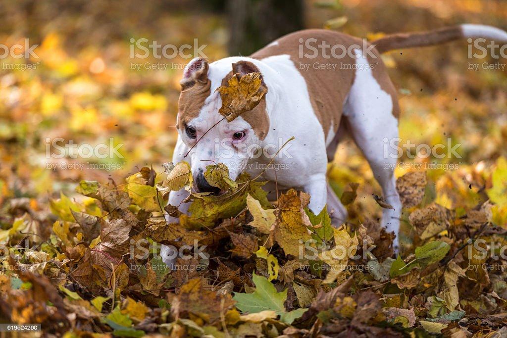 American Bulldog is Running on autumn Ground. stock photo