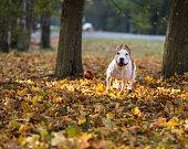 American Bulldog is Running on autumn Ground.