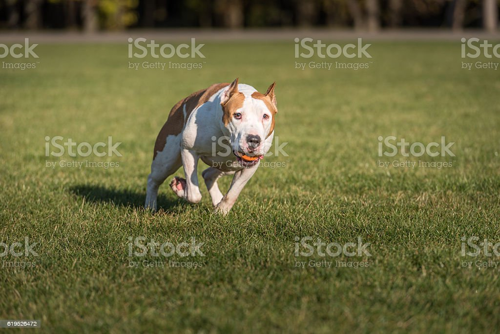 American Bulldog is Running on the Grass. stock photo