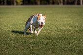 American Bulldog is Running on the Grass.