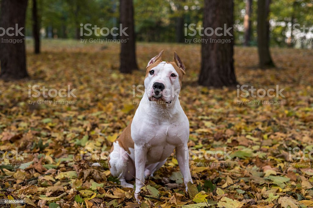 American Bulldog Is Sitting on the Ground stock photo