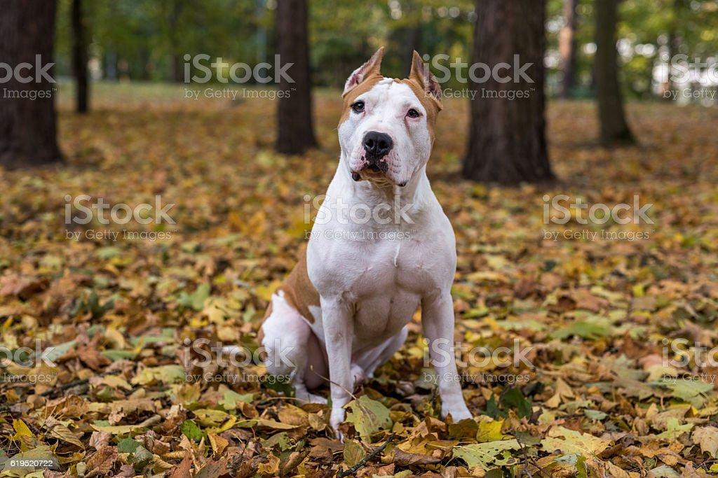 American Bulldog Is Sitting on the Ground stock photo