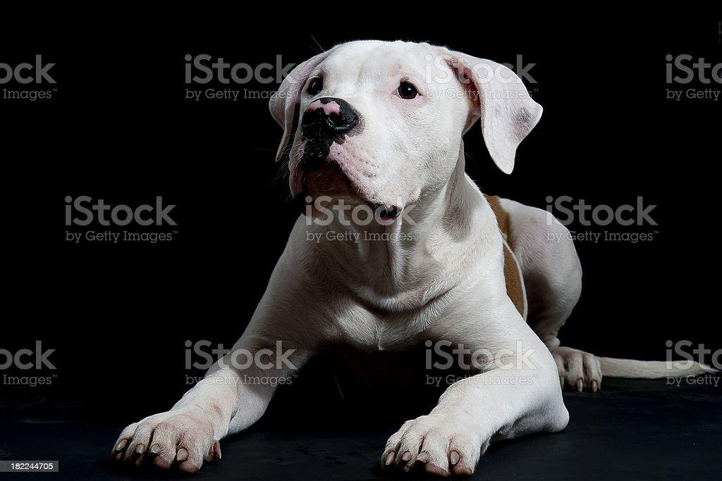 american bulldog lying stock photo