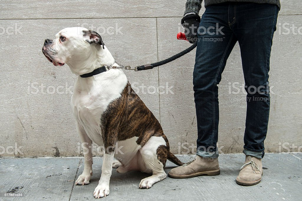 American Bulldog on street stock photo