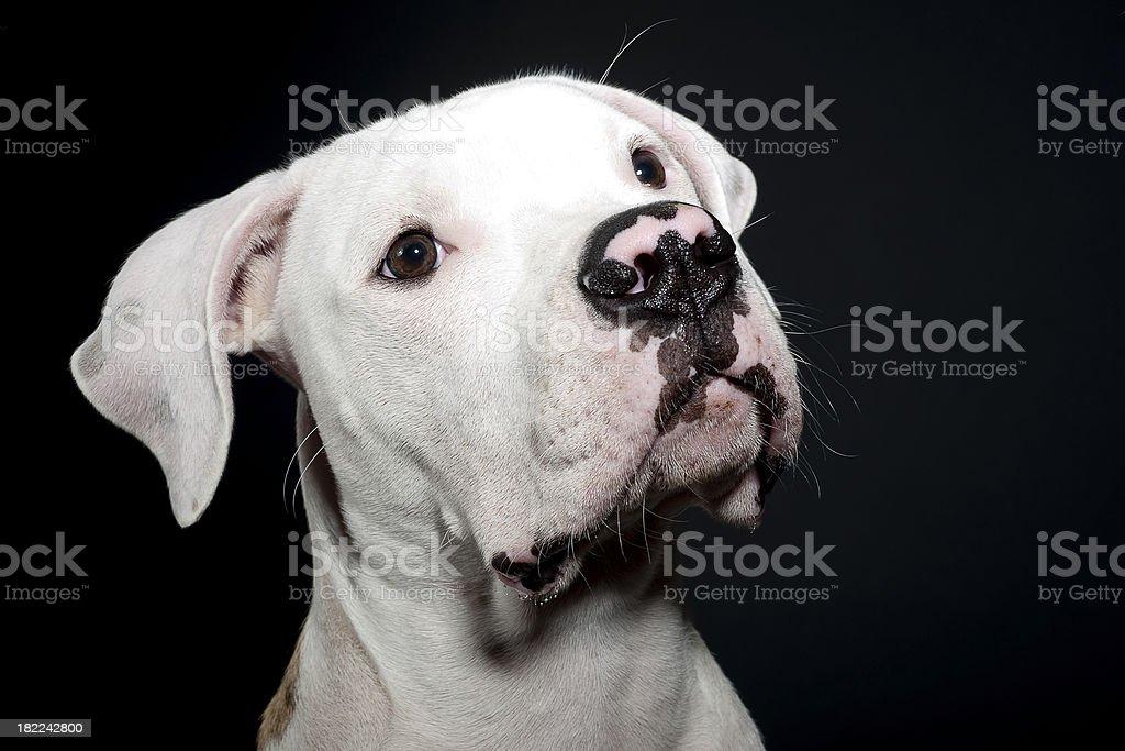 american bulldog portrait 4 stock photo