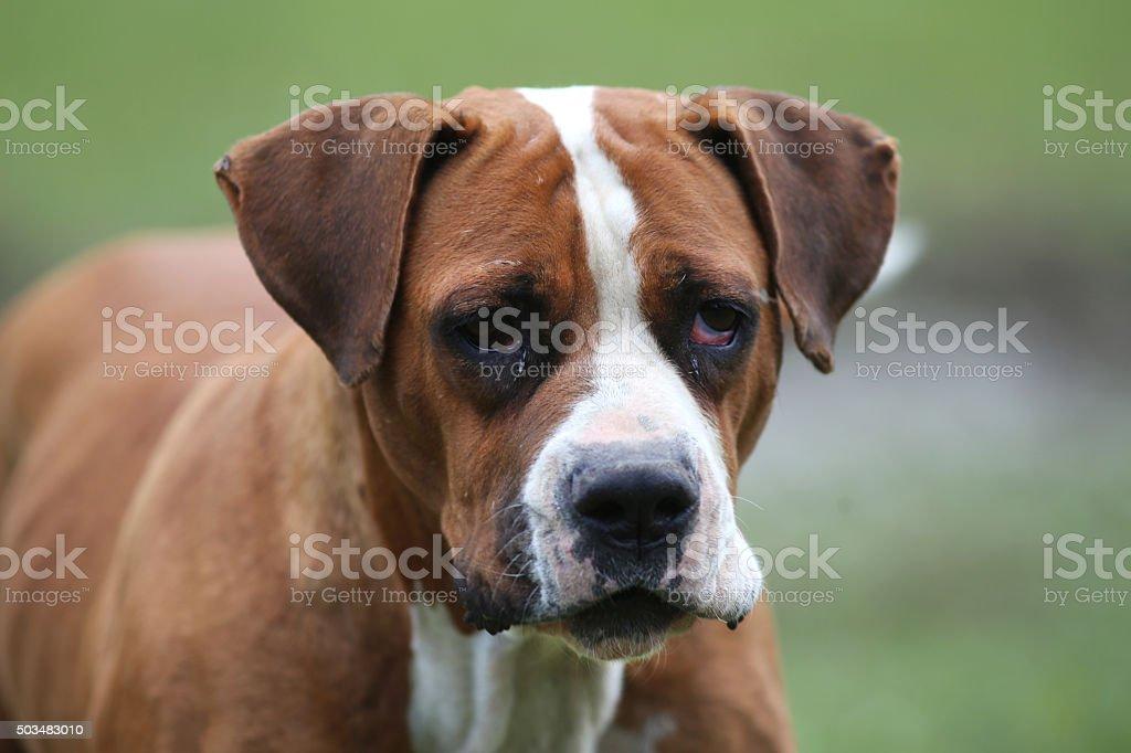 American bulldog posing for the camera stock photo