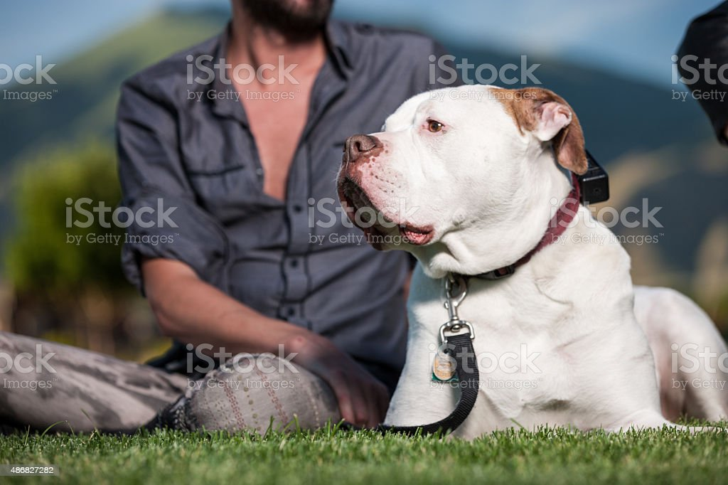 American Bulldog Relaxing on Grass stock photo