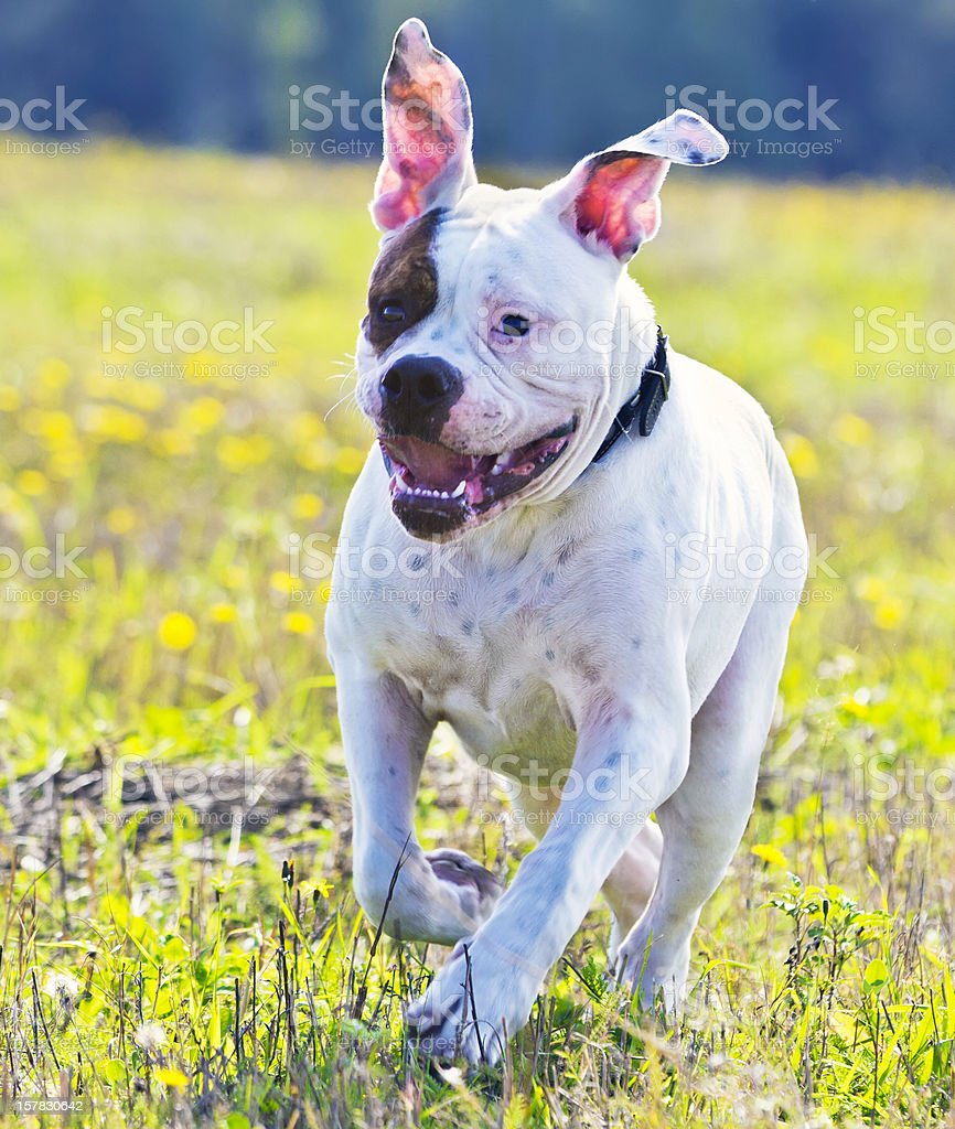 American bulldog running in the meadow royalty-free stock photo