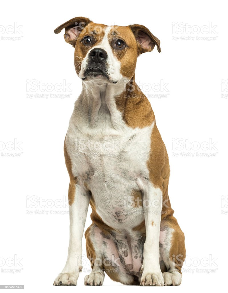 American Bulldog sitting, isolated on white stock photo