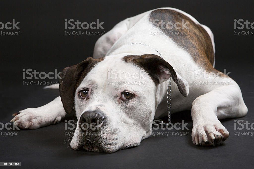 american bulldog sleeping of black background. stock photo
