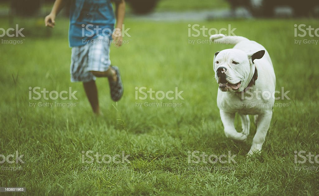 American Bulldog Standar Type stock photo