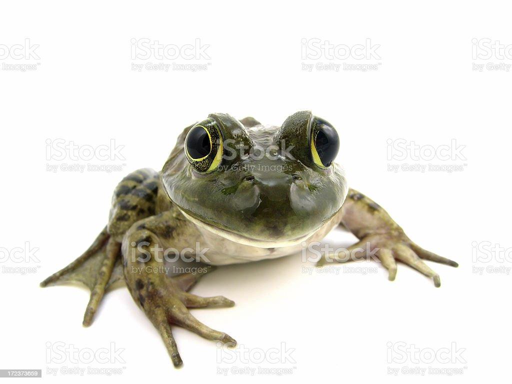 American Bullfrog (female) stock photo