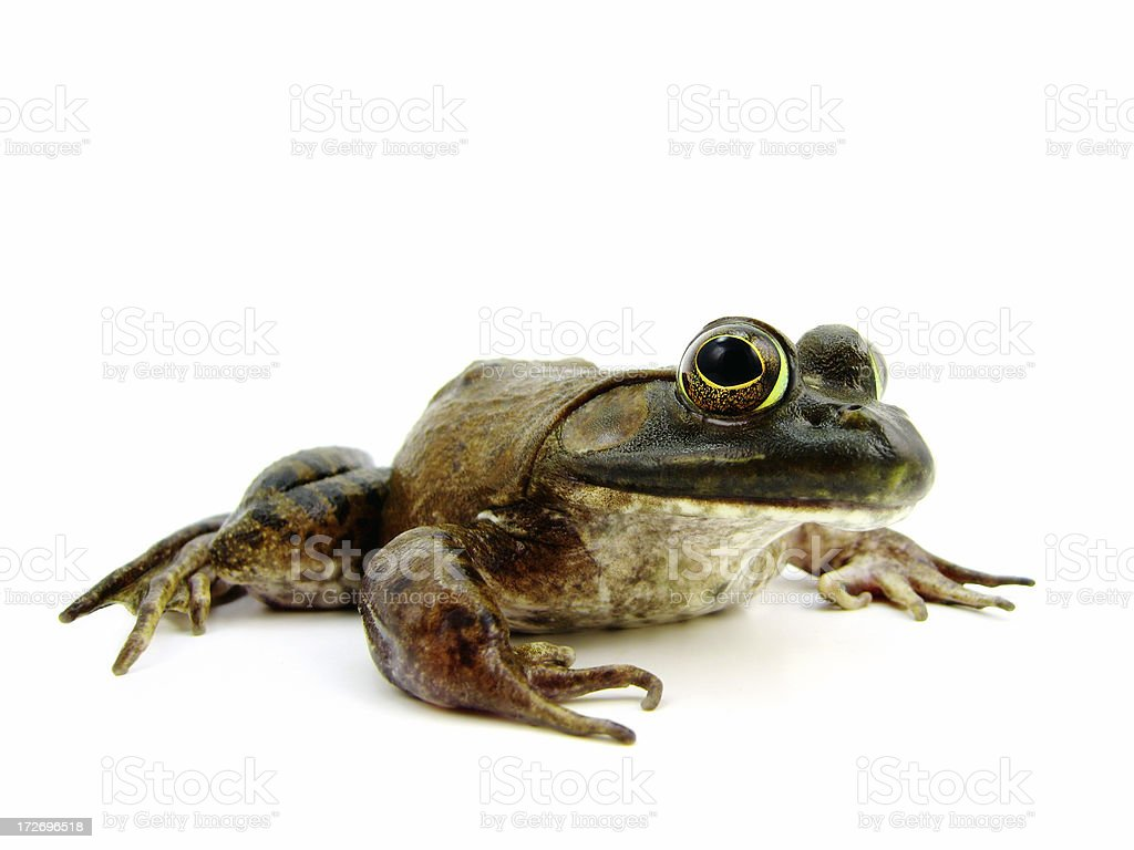 American Bullfrog royalty-free stock photo