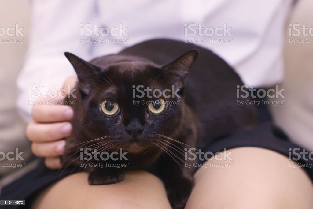 american burmese black cat on human laps stock photo