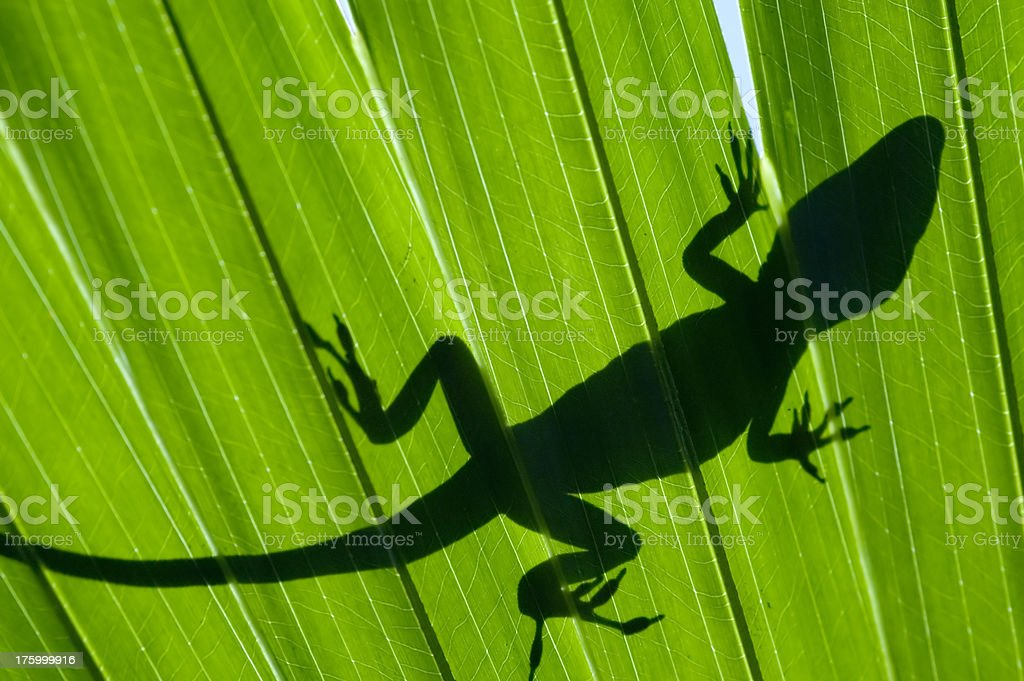 American Chameleon on a Frond royalty-free stock photo