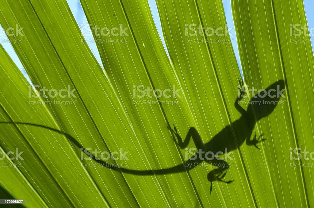 American chameleon shadow royalty-free stock photo