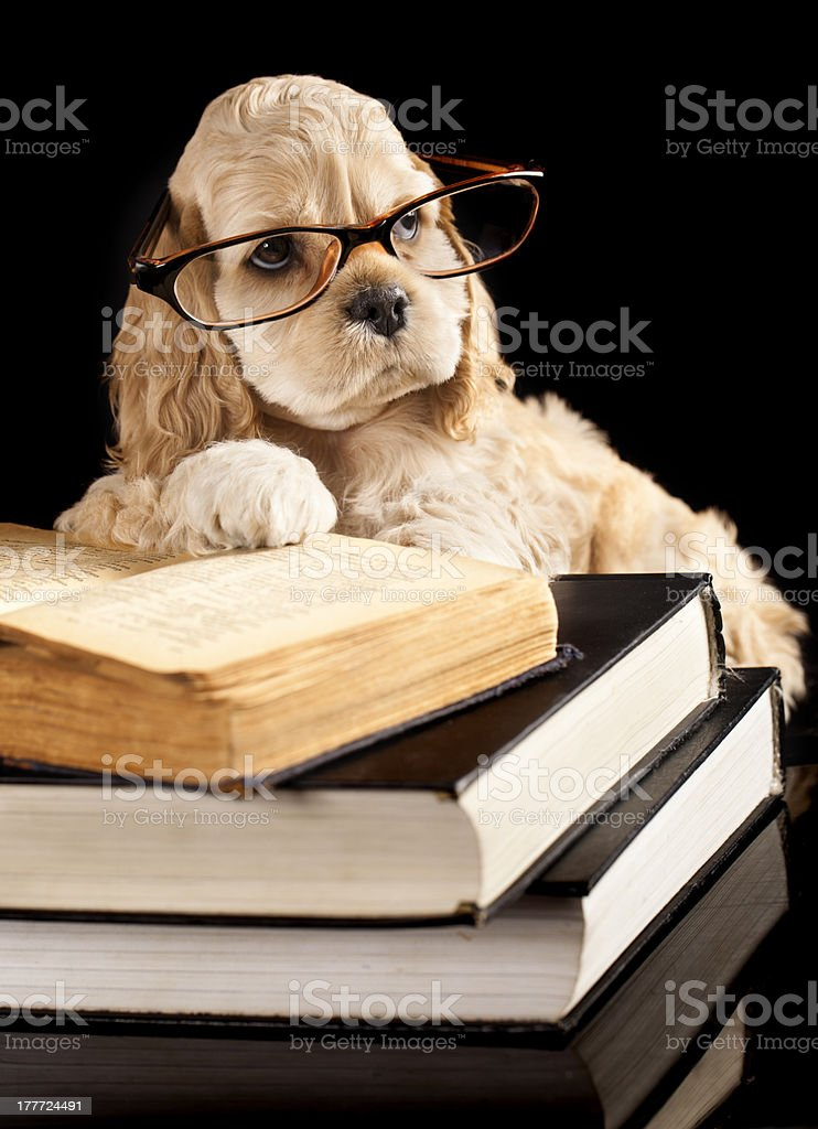 american cocker spaniel reading book royalty-free stock photo