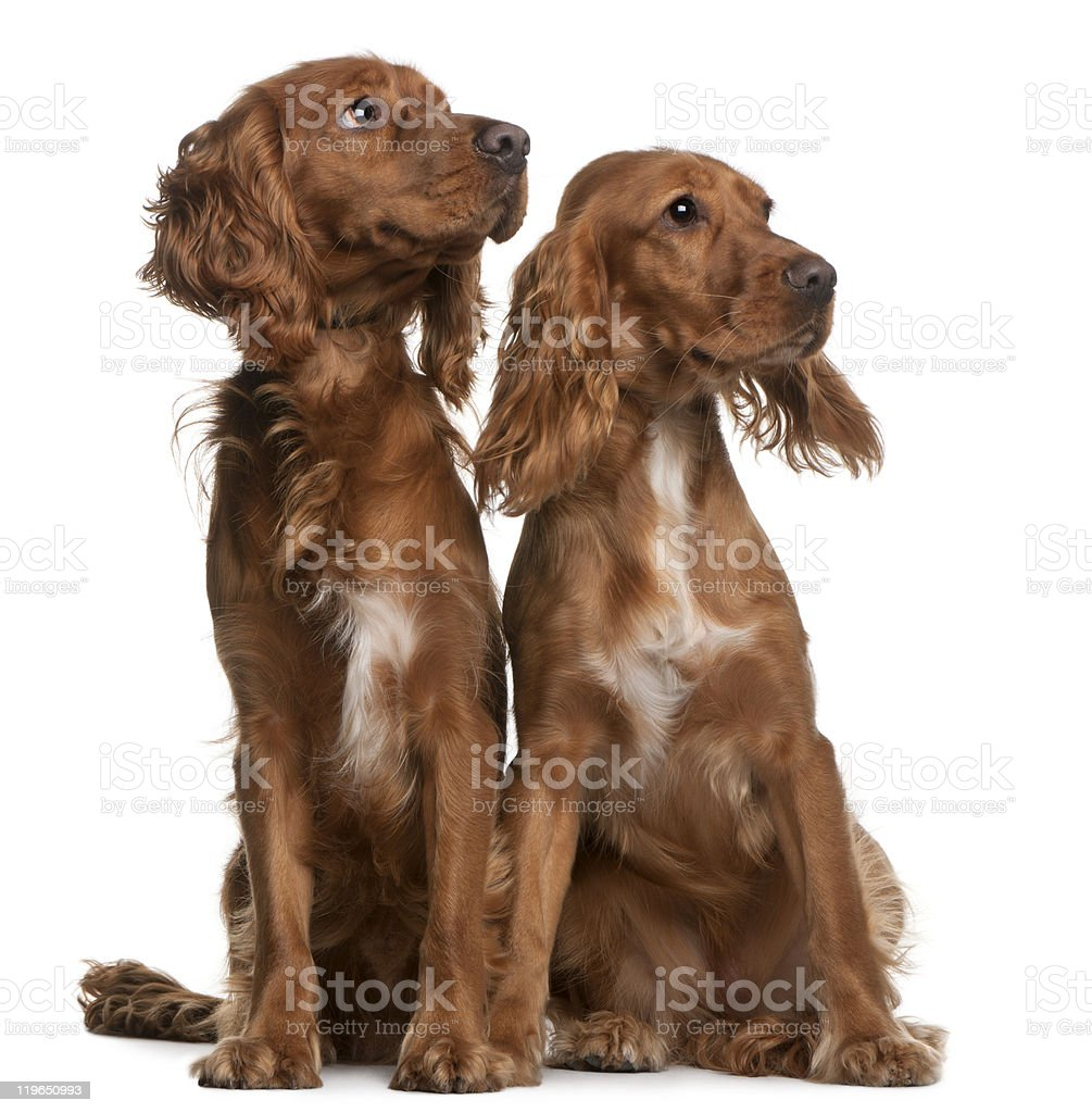 American Cocker Spaniels, sitting, and looking away, white background. stock photo