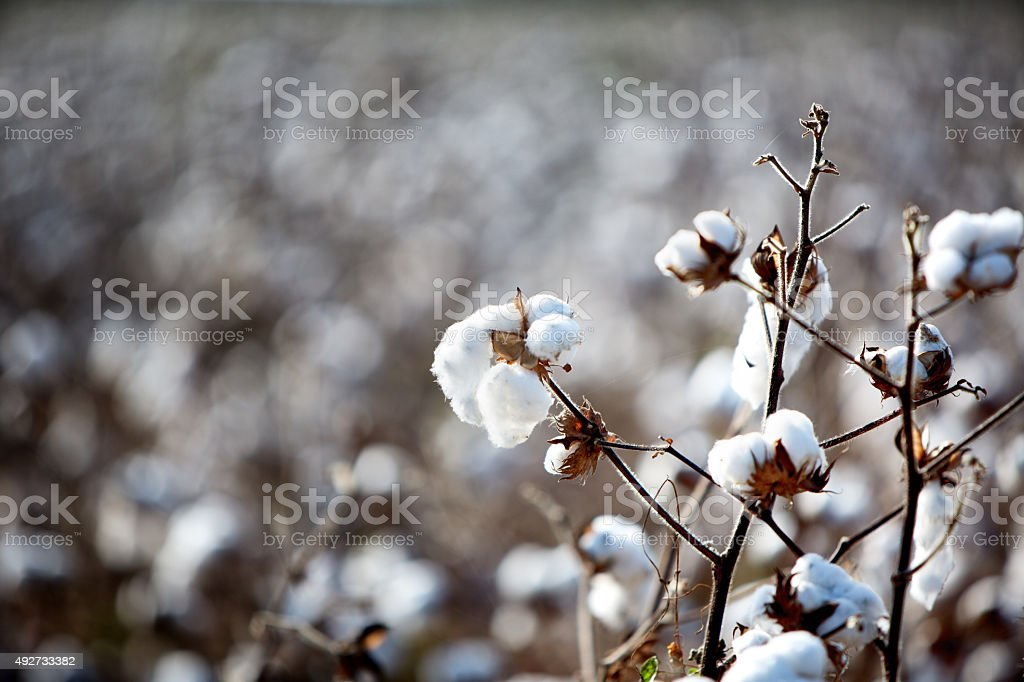 American Cotton Field stock photo