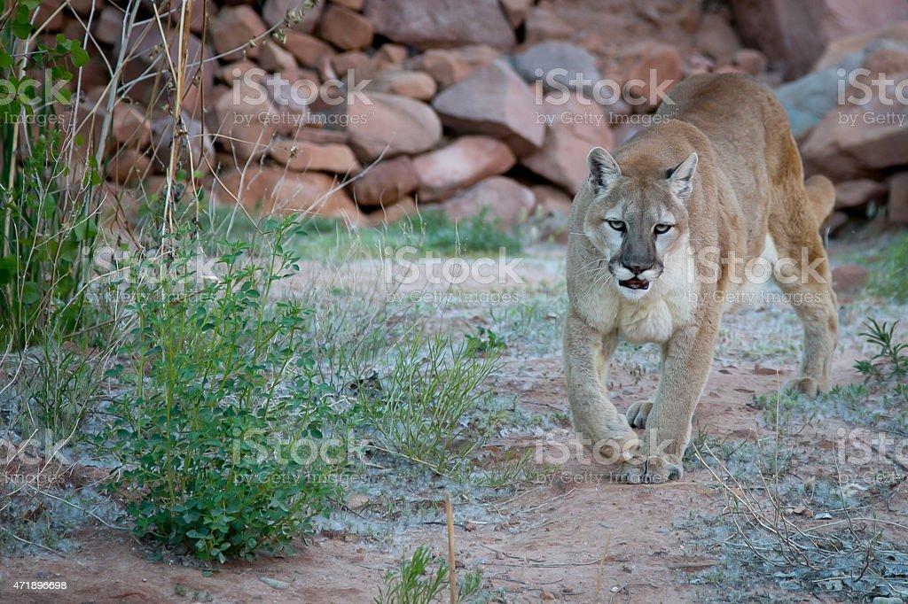 American Cougar stock photo