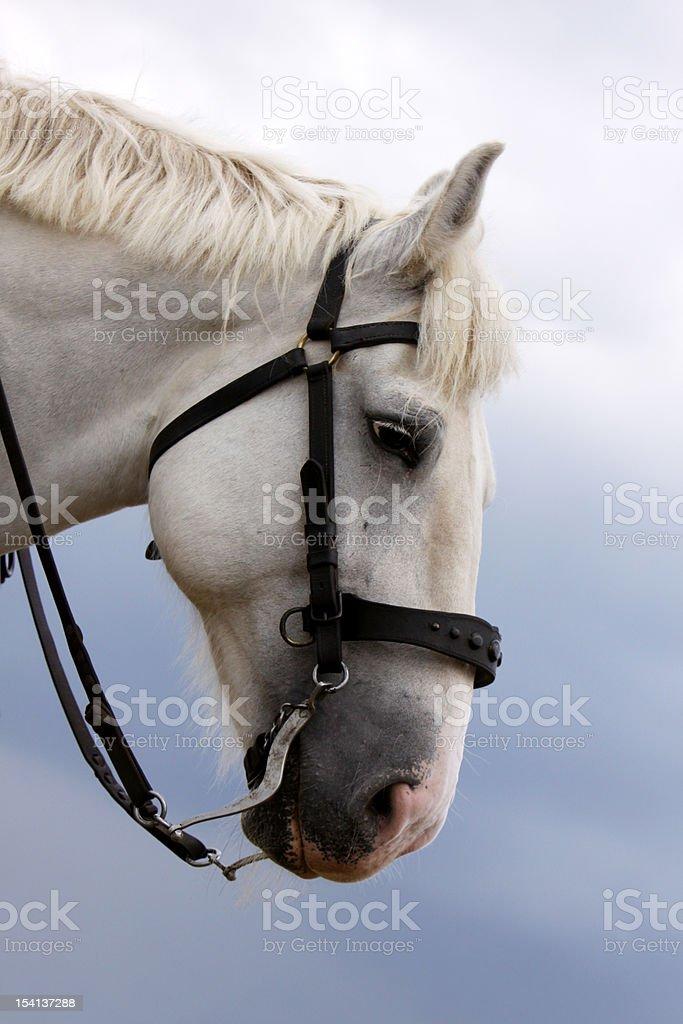 American Cream Draft Horse stock photo