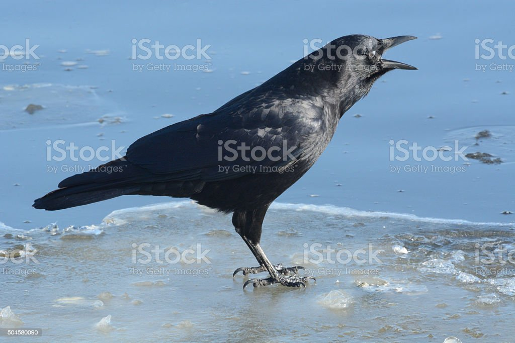 American crow (Corvus brachyrhynchos) cawing stock photo