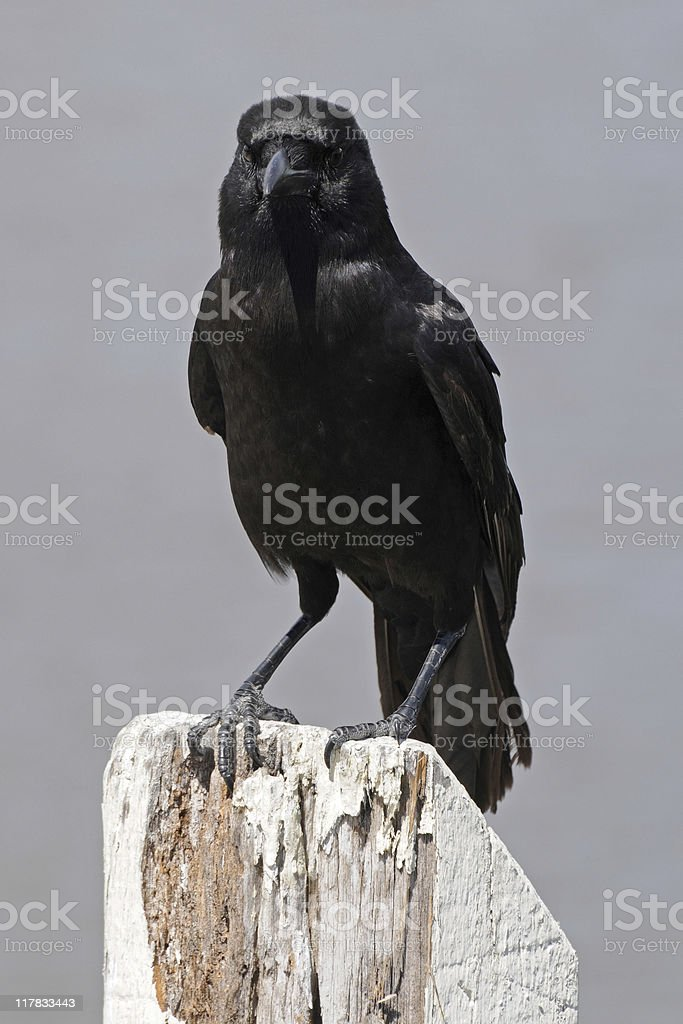 American crow, Corvus brachyrhynchos, perched on wooden post royalty-free stock photo