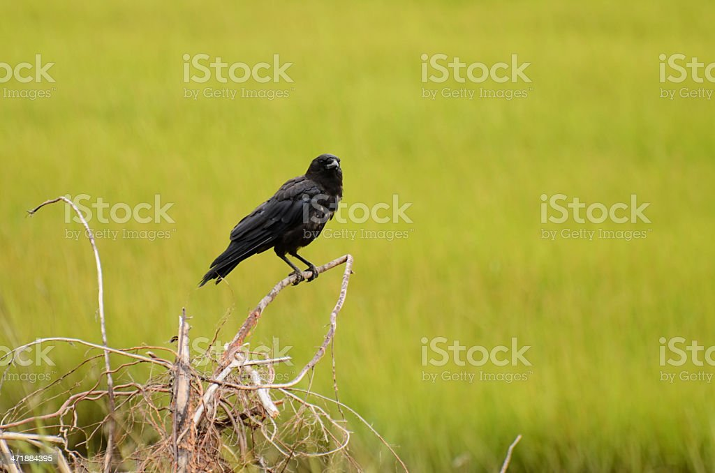 American Crow royalty-free stock photo