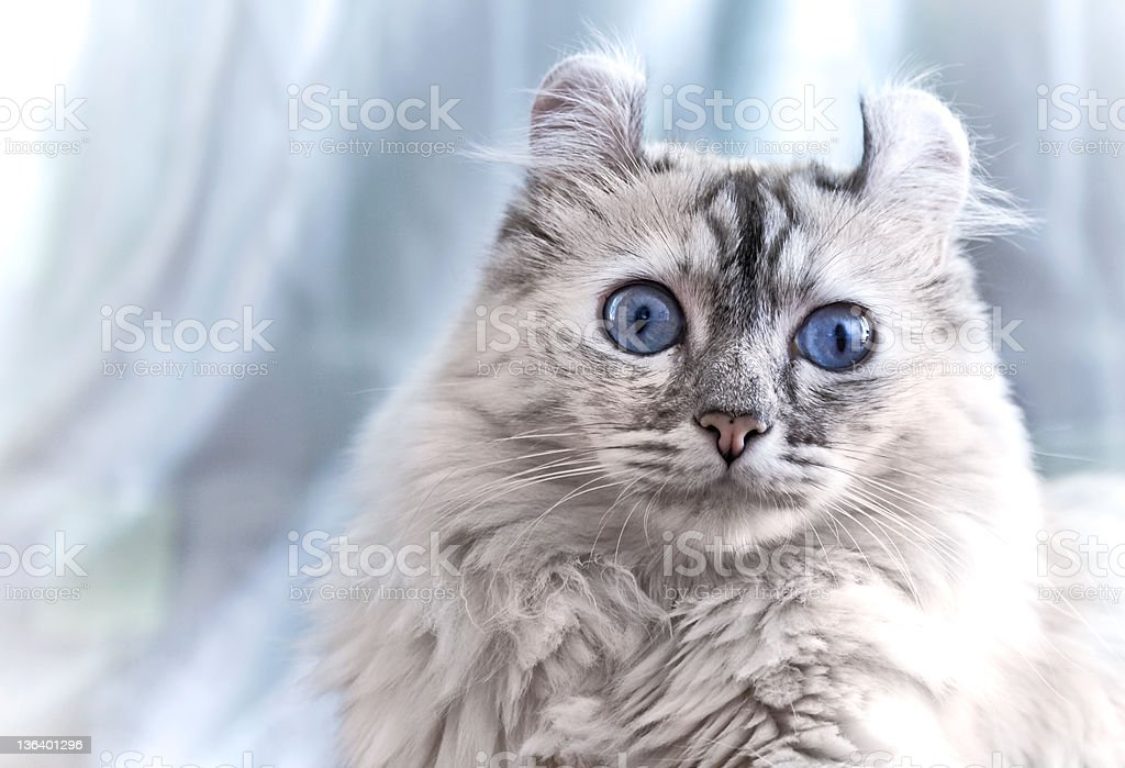 American curl cat stock photo