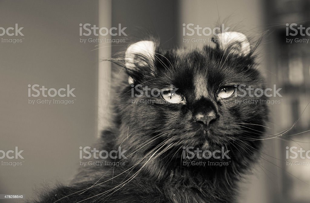 American curl cat stock photo