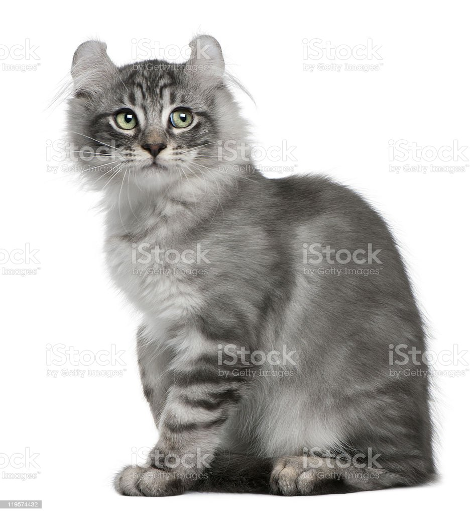 American Curl Kitten, 3 months old, sitting stock photo