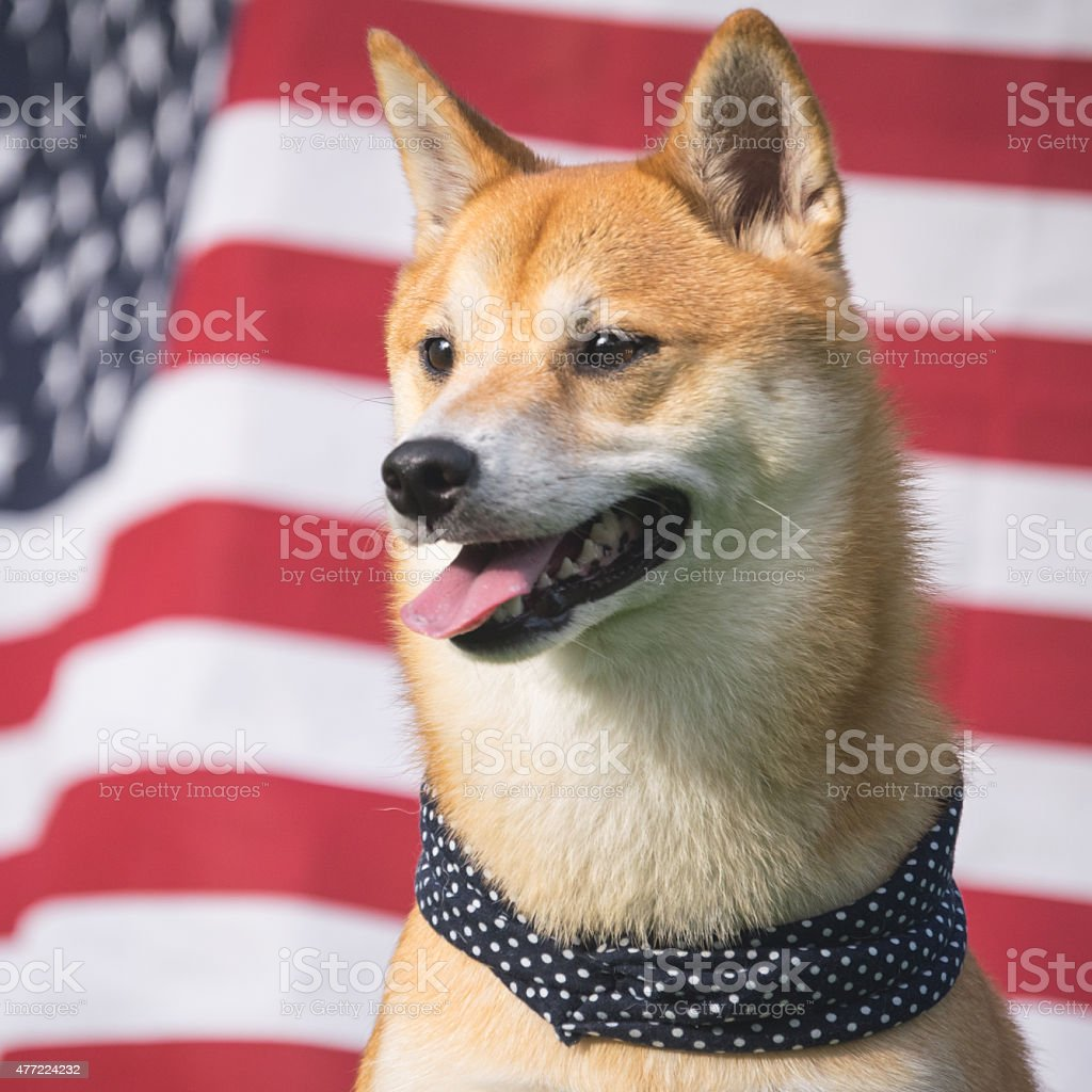 American Dog stock photo