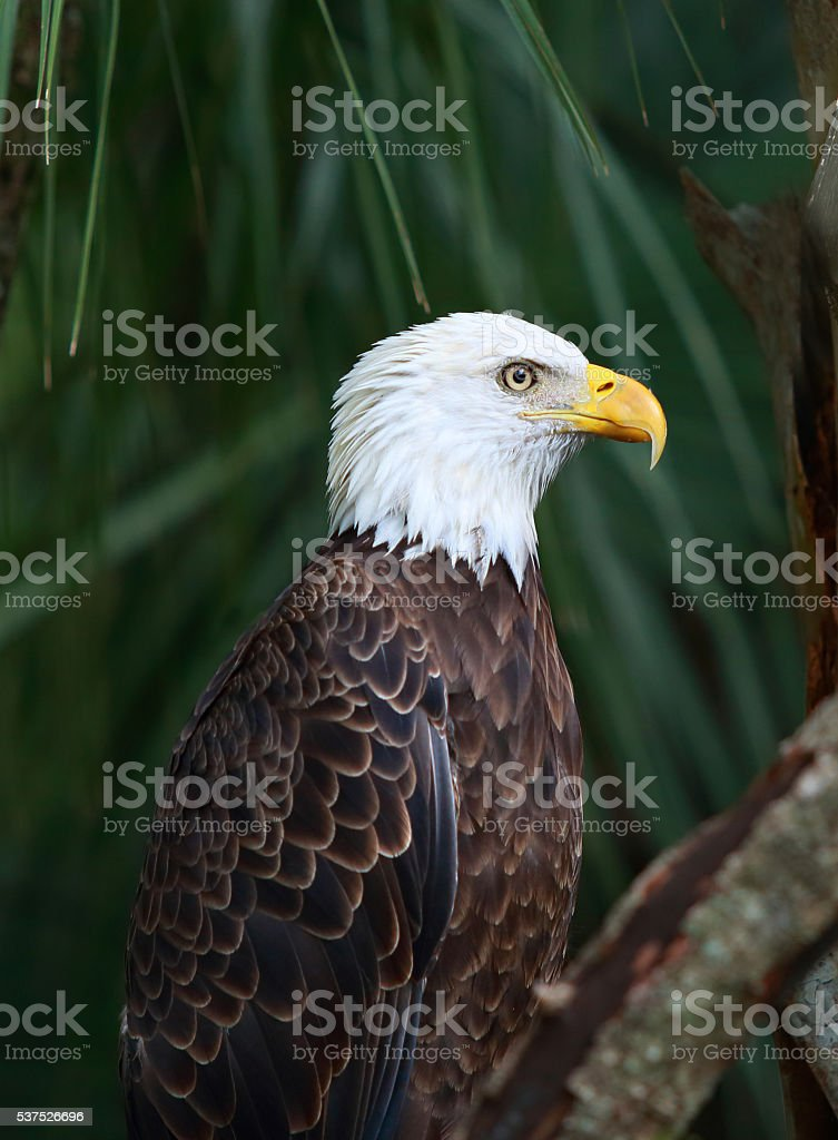 American eagle in the forest stock photo
